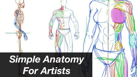 Simple Anatomy For Artists