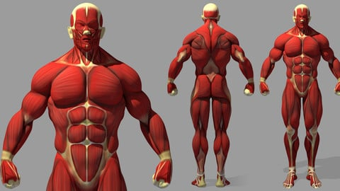 Muscle Reference