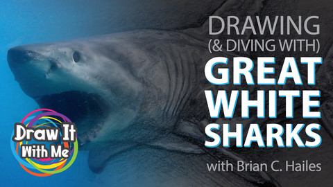 Drawing (& Diving With) Great White Sharks