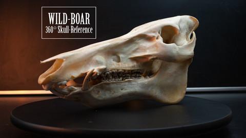 Boar Skull - 360 Reference photos