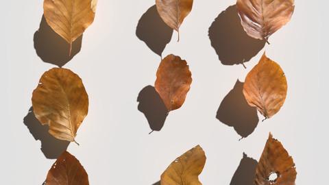 Dry Beech Leaves Pack