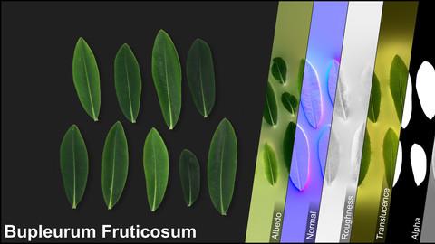 Photometric Scan Vegetation - Bupleurum Fruticosum - Leaves 1