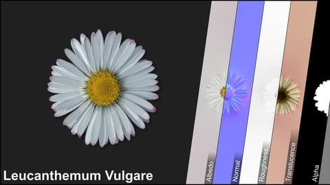 Photometric Scan Vegetation - Leucanthemum Vulgare - Flowers 1