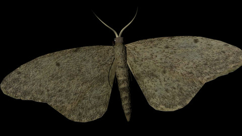Moth Insect