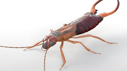 Earwig Insect Rigged PBR