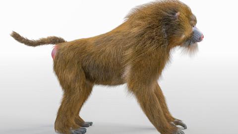 Baboon Monkey Rigged Hair Fur