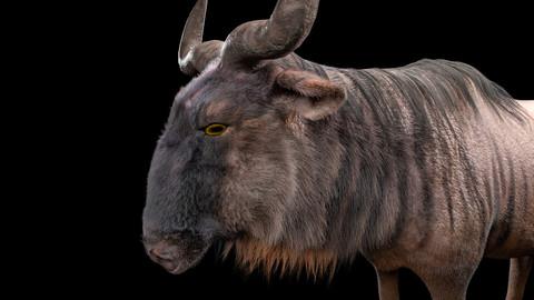 Wildebeest Hair Fur Rigged Animal
