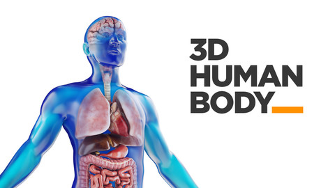 Human Male anatomy model with internal organs with 4K textures