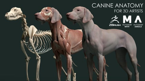 Canine Anatomy Model