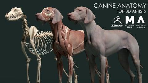 Canine Anatomy Model