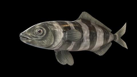 Pilot Fish 3D Model