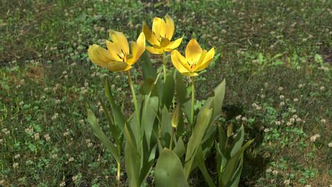 Gesner's Tulip Pack