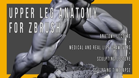 Upper Leg Anatomy