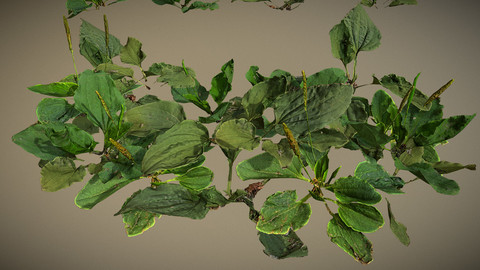 Photorealistic Broadleaf Plantain - plant for ground coverage VR / AR / low-poly 3d model