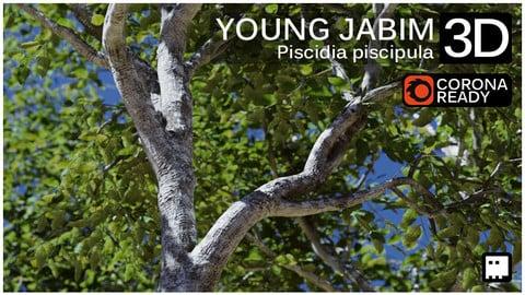 Young Jabim Tree (Piscidia piscipula)