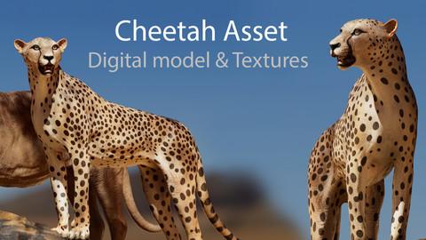 Cheetah - Digital Model and Textures