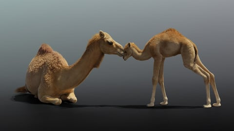 Camel and camel baby Animated