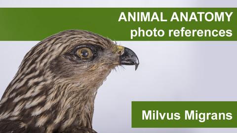 Animal anatomy photo references Milvus Migrans