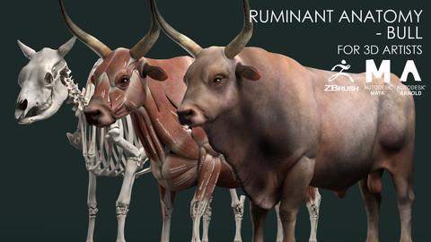 Ruminant Anatomy Model - Bull