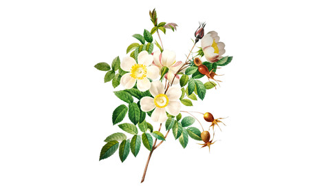 White Rose Shrub Illustration PNG File