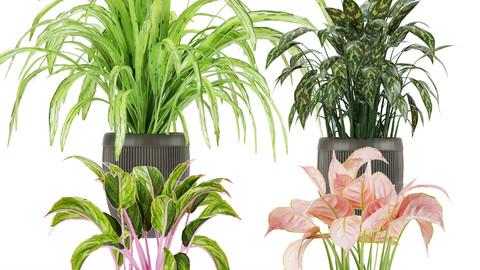 Collection plant aglaonema