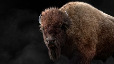 Bison Male