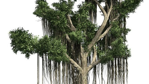 Chinese Banyan Tree