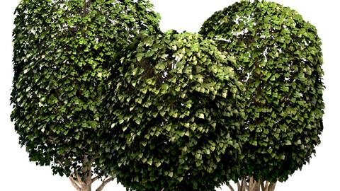 Mulberry Tree Set (Morus Tree)