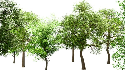 Set of Trees (China Tallow, Acer Pseudoplatanus & White oak)