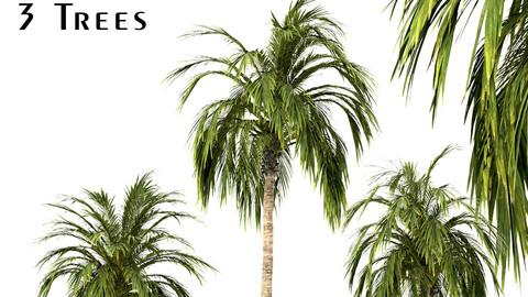 Set of Coconut Palm Trees (Cocos Nucifera)