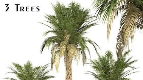 Set of Silver Date Palm Trees (Phoenix Sylvestris) (3 Trees)