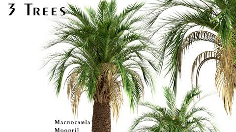 Set of Macrozamia Moorei Palm Trees (Carnarvon Gorge) (3 Trees)