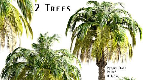 Set of Pygmy Date Palm Trees (Phoenix Roebelenii) (2 Trees)