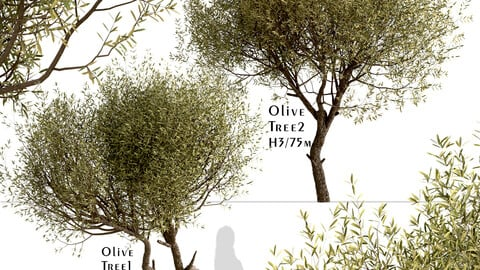 Set of Olive Trees (Olea Europaea) (2 Trees)
