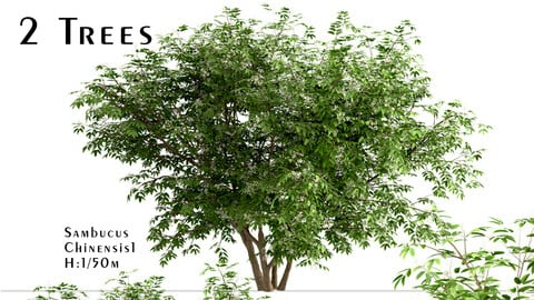 Set of Sambucus Chinensis Trees (Chinese Elderberry) (2 Trees)