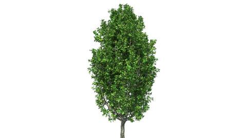 Cypress Oak Tree