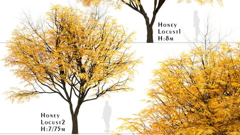 Set of Honey Locust Trees (Gleditsia Triacanthos) (2 Trees)
