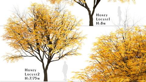 Set of Honey Locust Trees (Gleditsia Triacanthos) (2 Trees)