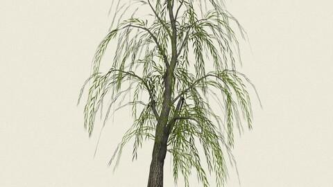Willow Tree 05