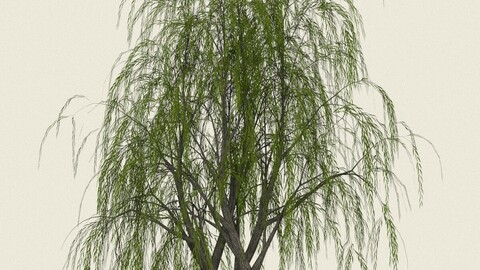 Willow Tree 11