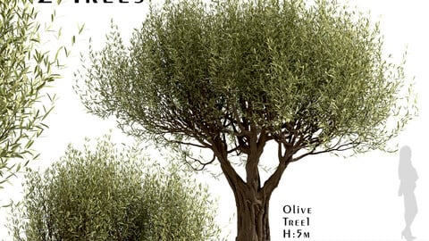 Set of Olive Trees (Olea Europaea) (2 Trees)