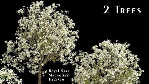 Set of Royal Star Magnolia Trees (Magnolia Stellata) (2 Trees)