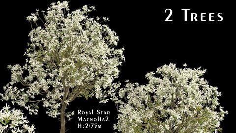Set of Royal Star Magnolia Trees (Magnolia Stellata) (2 Trees)