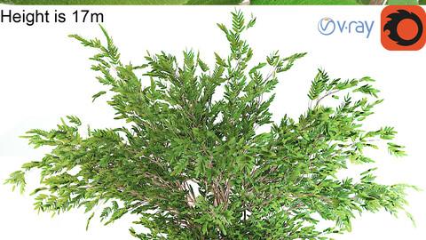 Ash tree V-ray+corona