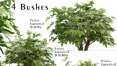 Set of Fatsia japonica bushes (Japanese aralia) (4 Bushes)