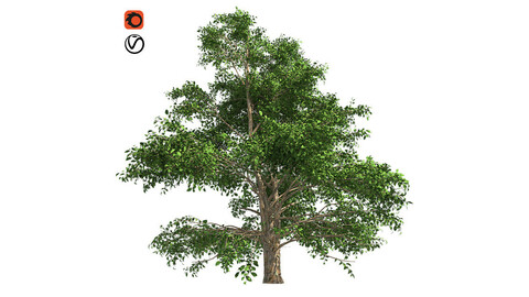 Korean Stewartia Tree