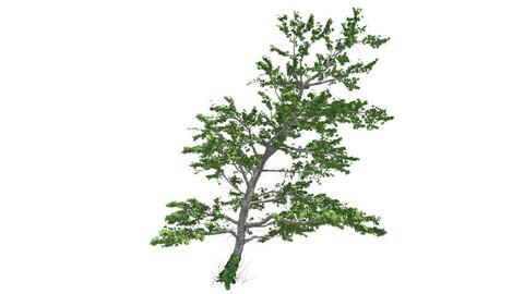 Plitvice Maple Tree