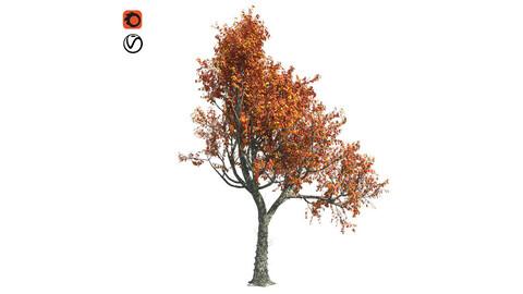Red Oak Fall Tree