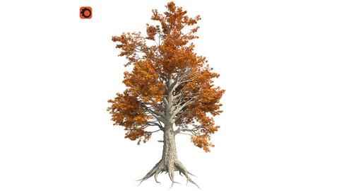 Sassafras Fall Tree