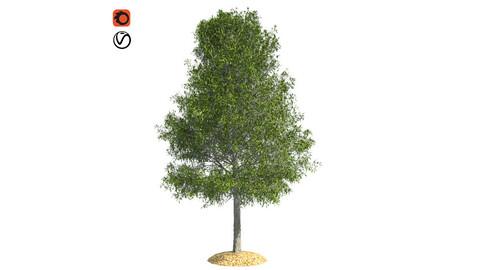 Shingle Oak Tree